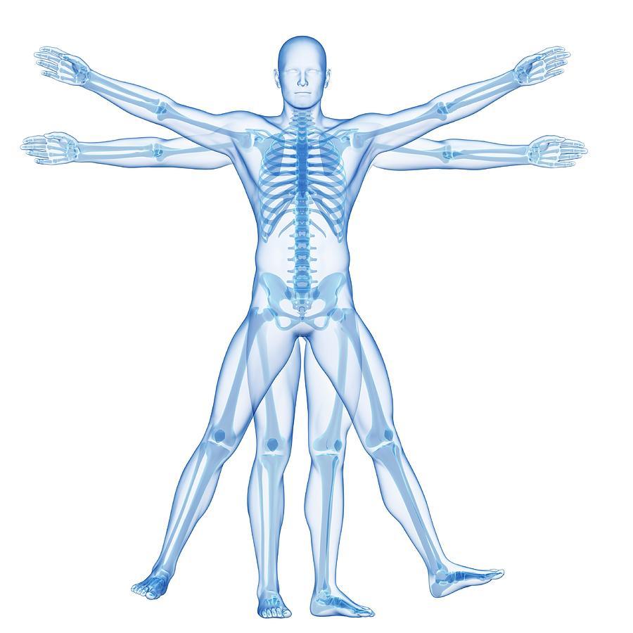 Artwork Photograph - Human Skeletal System by Sebastian Kaulitzki
