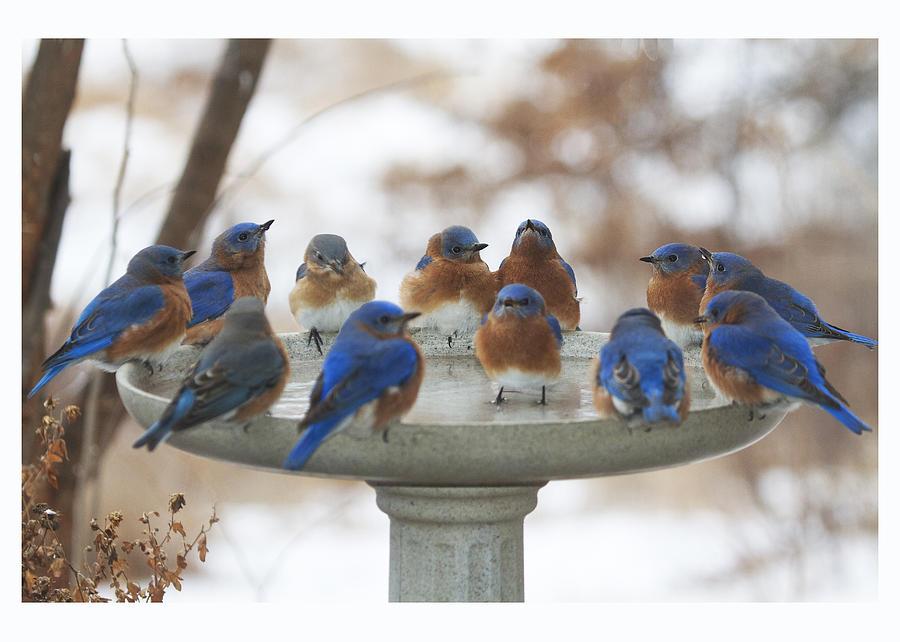Eastern Bluebirds Photograph - 12 Bluebirds Card Only by Diane Porter