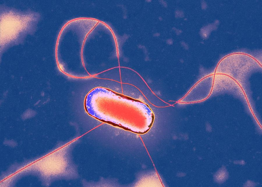 Escherichia Coli Photograph - E. Coli Bacterium by Centre For Infections/public Health England/science Photo Library