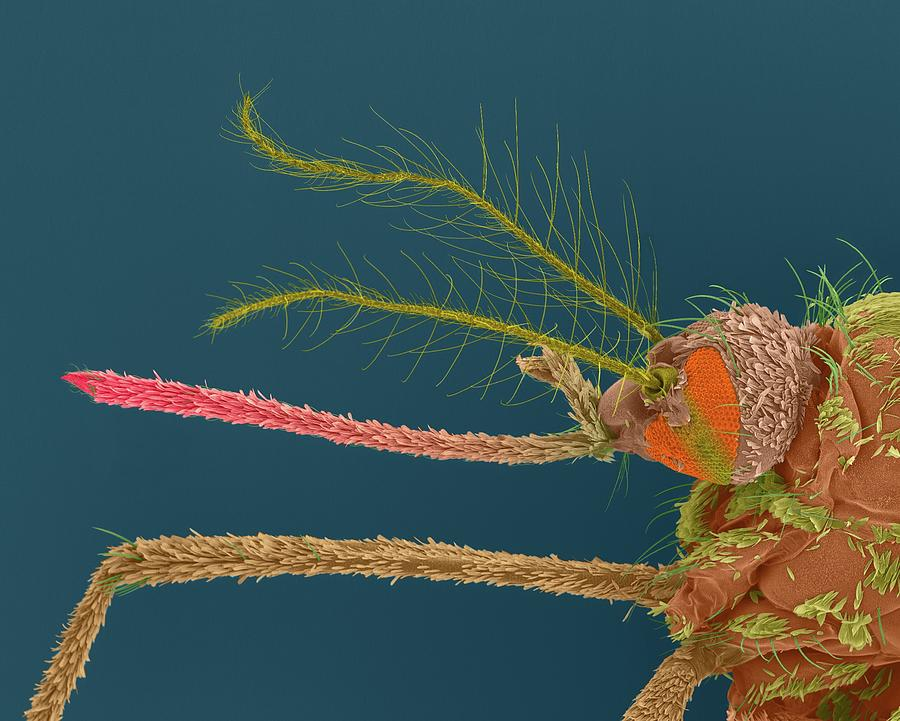 Invertebrate Photograph - Female Asian Tiger Mosquito by Dennis Kunkel Microscopy/science Photo Library