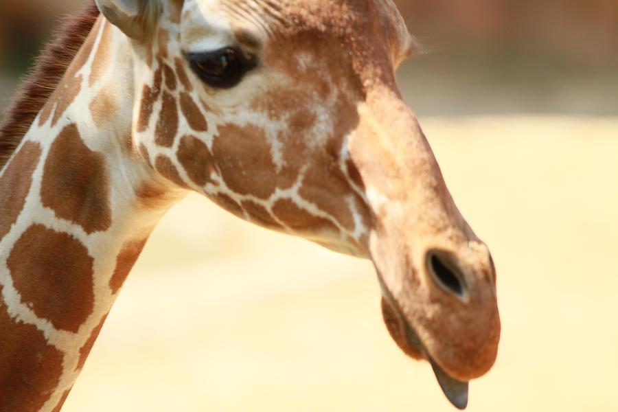 Nature Photograph - Giraff by Tinjoe Mbugus