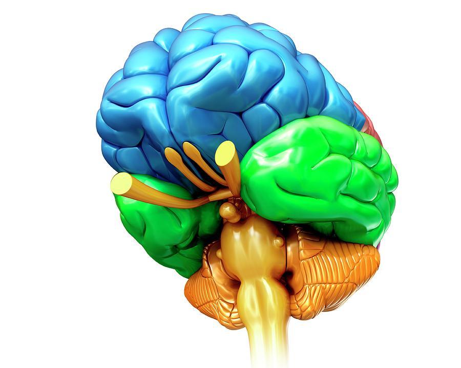 Artwork Photograph - Human Brain Regions by Pixologicstudio/science Photo Library