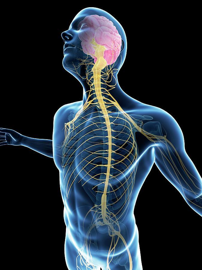 Human Nervous System Photograph By Sebastian Kaulitzki