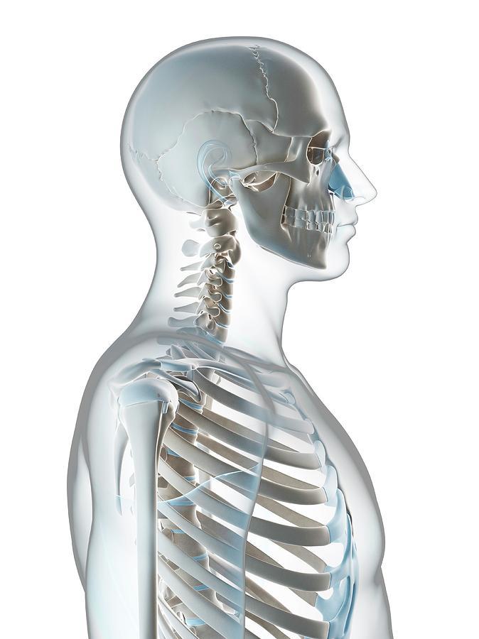 Artwork Photograph - Human Skull And Neck by Sebastian Kaulitzki