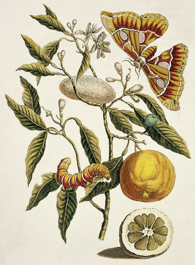 18th Century Photograph - Insects Of Surinam by Natural History Museum, London/science Photo Library