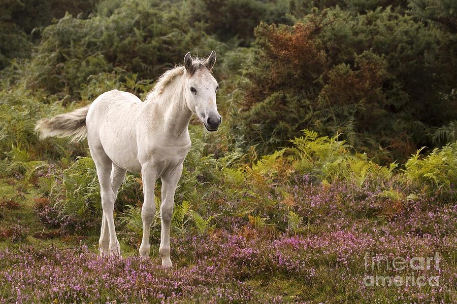 Pony Photograph - New Forest Pony by Angel Ciesniarska