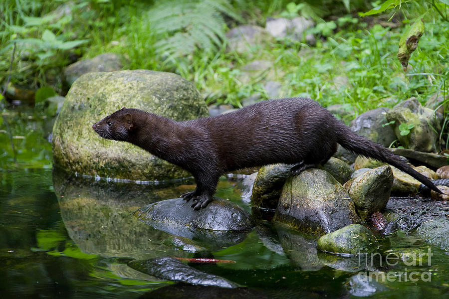American Mink Photograph - 121213p013 by Arterra Picture Library