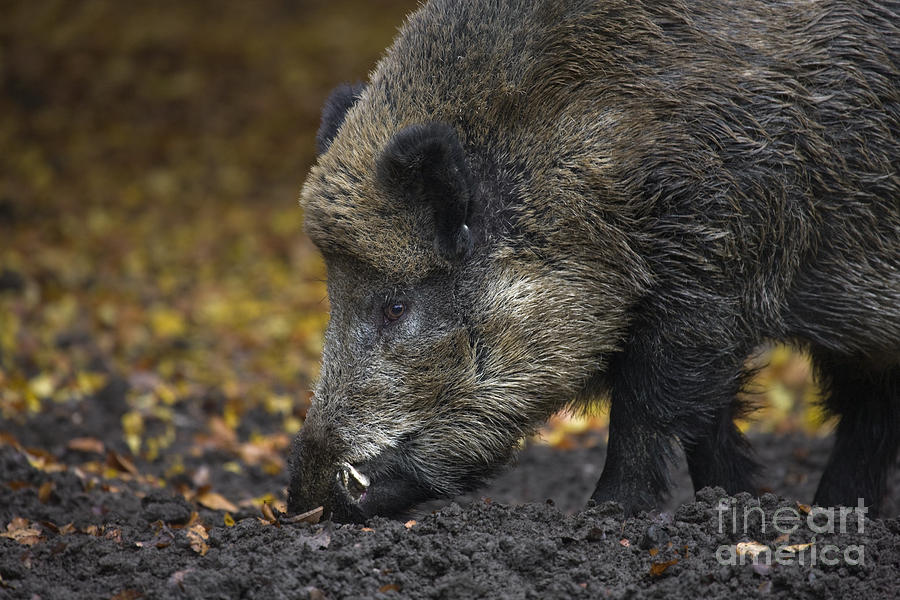 Snout Photograph - 121213p269 by Arterra Picture Library