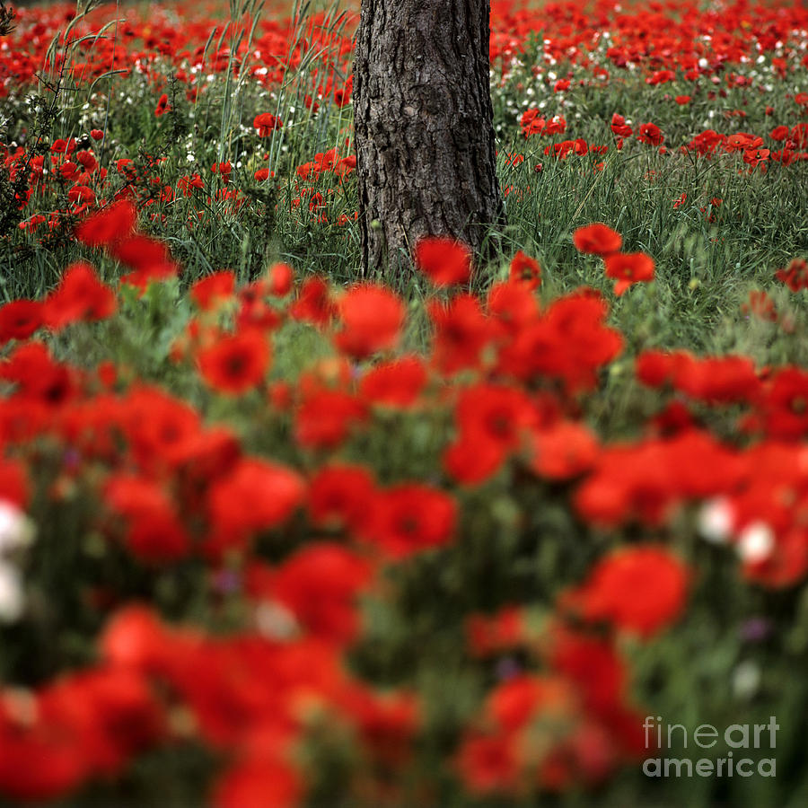 Outdoors Photograph - Field Of Poppies by Bernard Jaubert