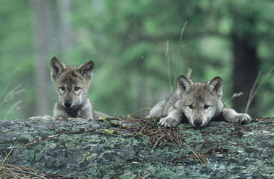 Animal Photograph - Gray Wolf by Jeffrey Lepore