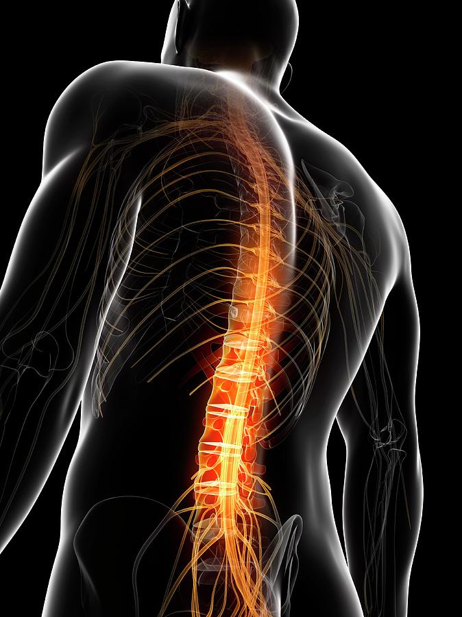 Human Spinal Cord Photograph By Sebastian Kaulitzki