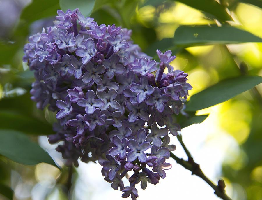 Lilac Photograph - Lilac - Syringa Vulgaris - Oleaceae Family by Anna Calvert