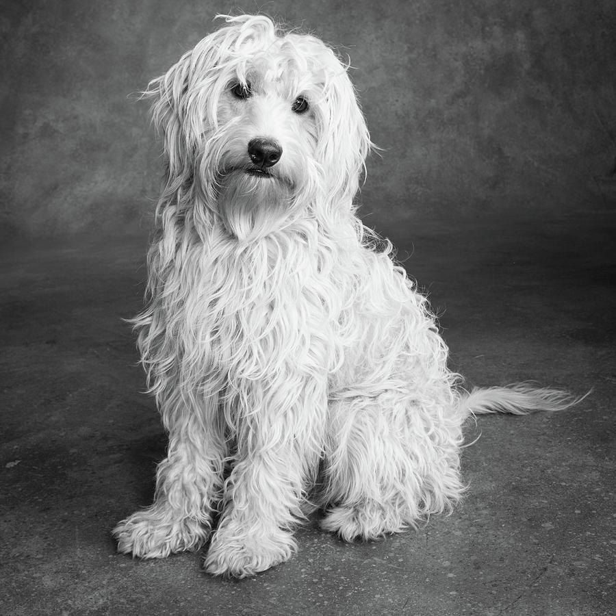 Portrait Of A Mini Golden Doodle Dog