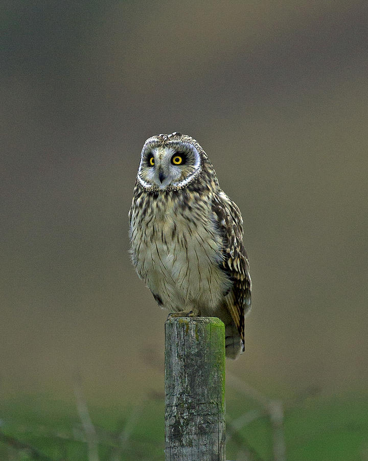 Asio Flammeus Photograph - Short Eared Owl by Paul Scoullar