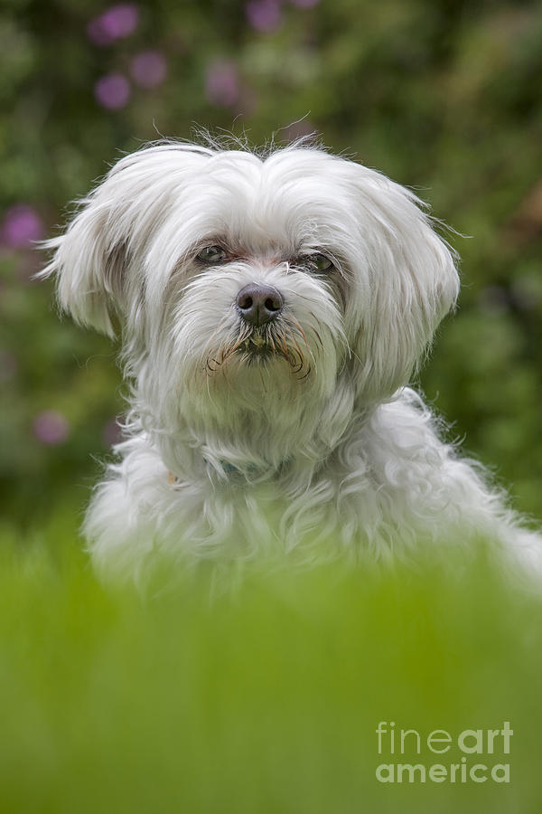 Maltese Photograph - 130918p024 by Arterra Picture Library