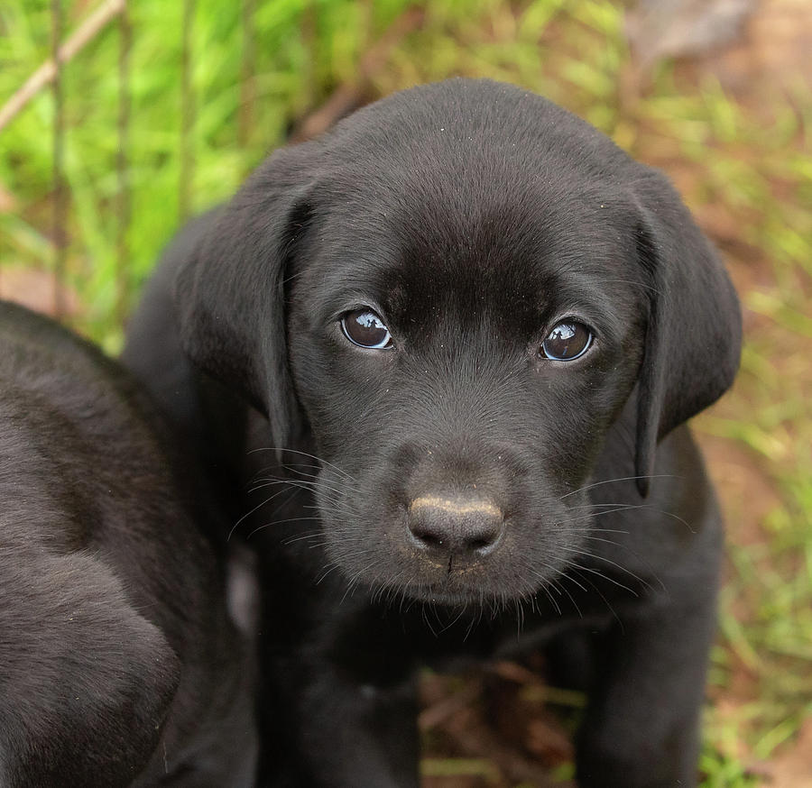 Black Lab Puppies for sale in South Africa