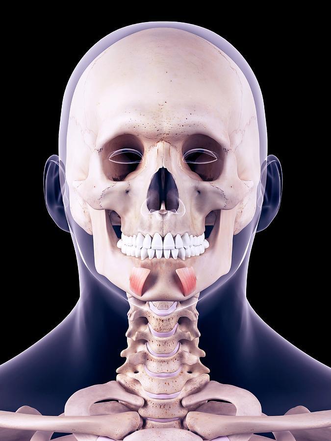 Artwork Photograph - Facial Muscles by Sebastian Kaulitzki/science Photo Library
