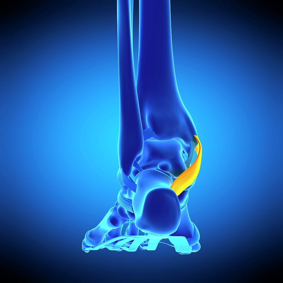 Artwork Photograph - Foot Ligament by Sebastian Kaulitzki/science Photo Library