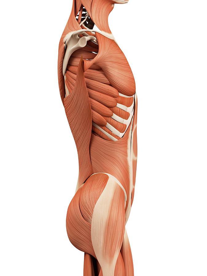 Artwork Photograph - Human Abdominal Muscles by Sebastian Kaulitzki
