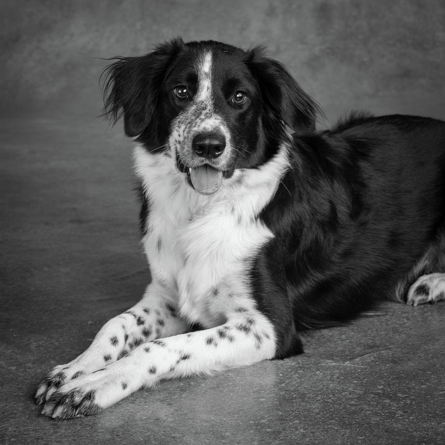 Extreem Portrait Of A Border Collie Mix Dog Photograph by Animal Images &YL37