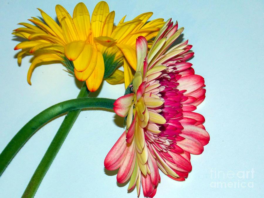 2013 Photograph - 1418-multicolor Gerbers by Elvira Ladocki