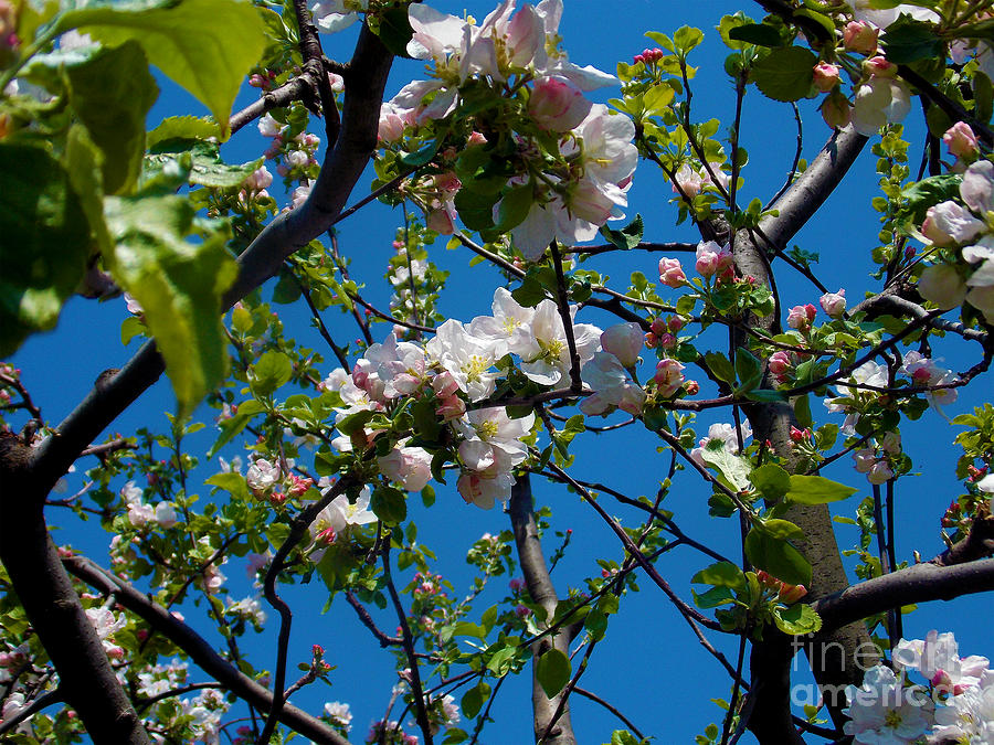 2013 Photograph - 1496-tree With The Flowers by Elvira Ladocki