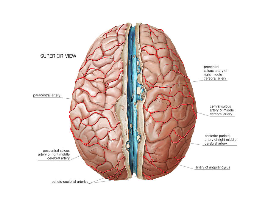 Arterial System Of The Brain Photograph by Asklepios Medical Atlas