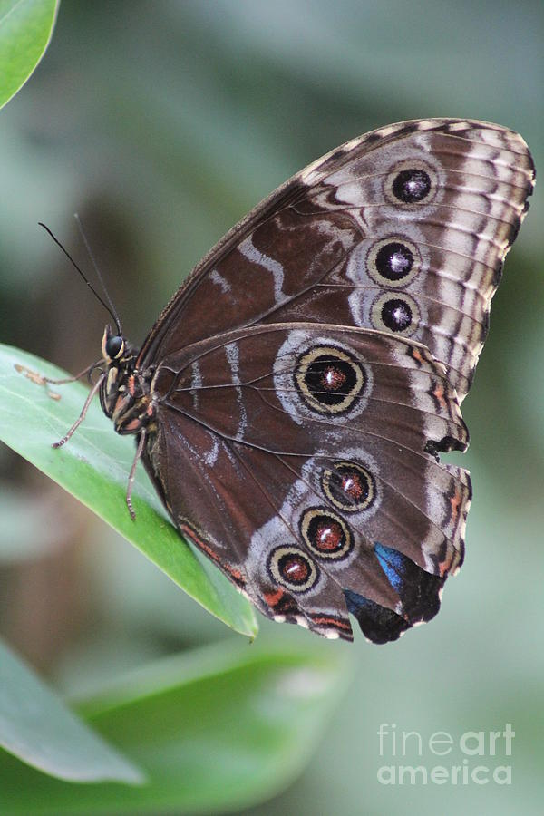 Butterfly by Diane Greco-Lesser