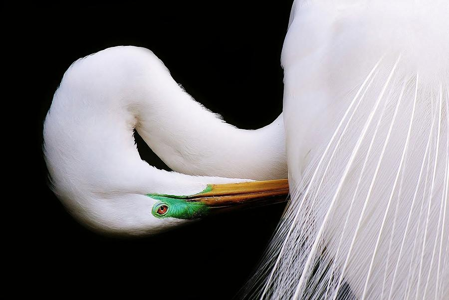 Bird Photograph - Great White Egret by Paulette Thomas