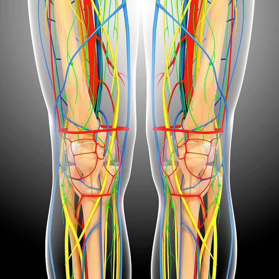 Artwork Photograph - Knee Anatomy by Pixologicstudio/science Photo Library