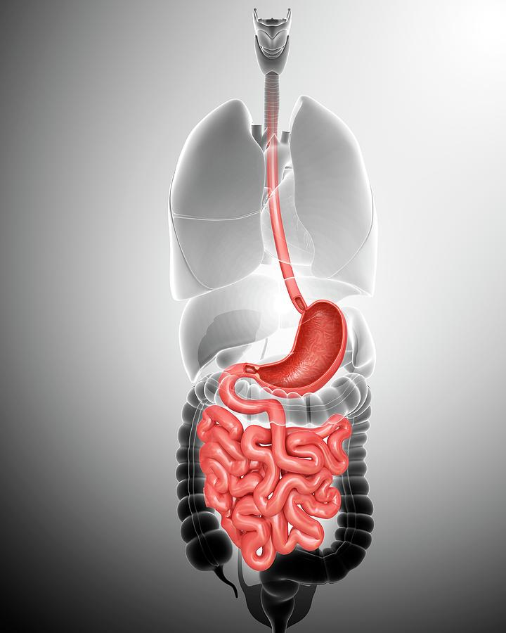 Artwork Photograph - Small Intestine And Stomach by Pixologicstudio