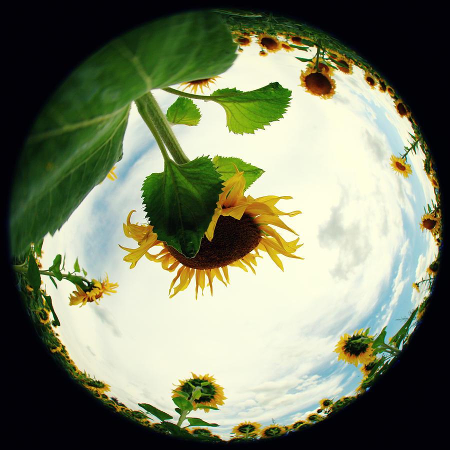 Blumen Photograph - Sunflowers by Falko Follert