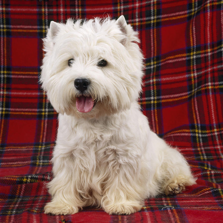 West Highland White Terrier Photograph - West Highland White Terrier by John Daniels