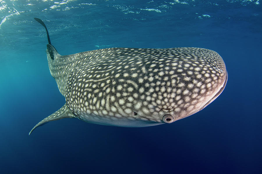Bay Photograph - Whale Shark, Cenderawasih Bay, West by Pete Oxford
