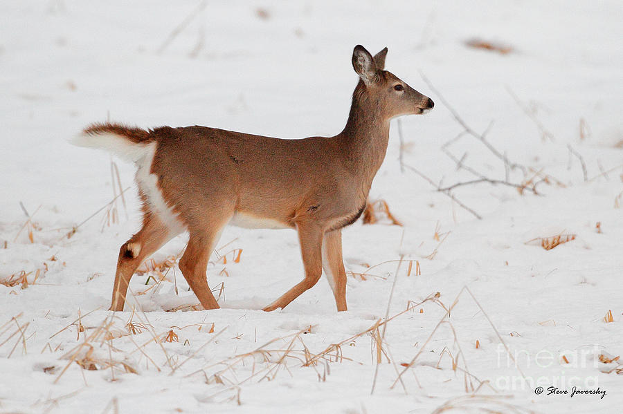 the types and characteristics of whitetail deer The highest concentration of large deer species in temperate north america lies in the canadian rocky mountain and columbia mountain regions between alberta and british columbia where all five north american deer species (white-tailed deer, mule deer, caribou, elk, and moose) can be found.
