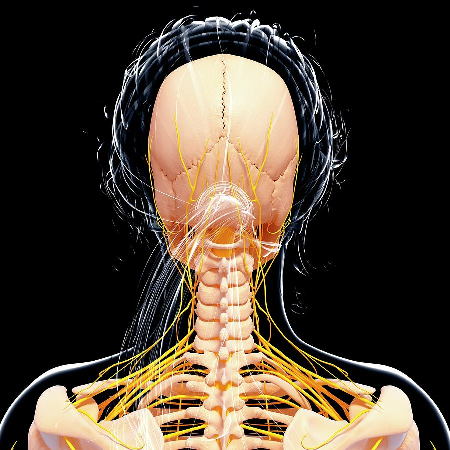 Artwork Photograph - Female Nervous System by Pixologicstudio/science Photo Library