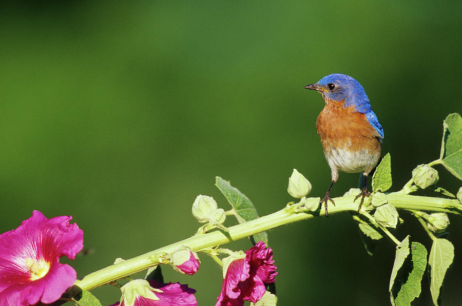 Alcea Rosea Photograph - Eastern Bluebird (sialia Sialis by Richard and Susan Day