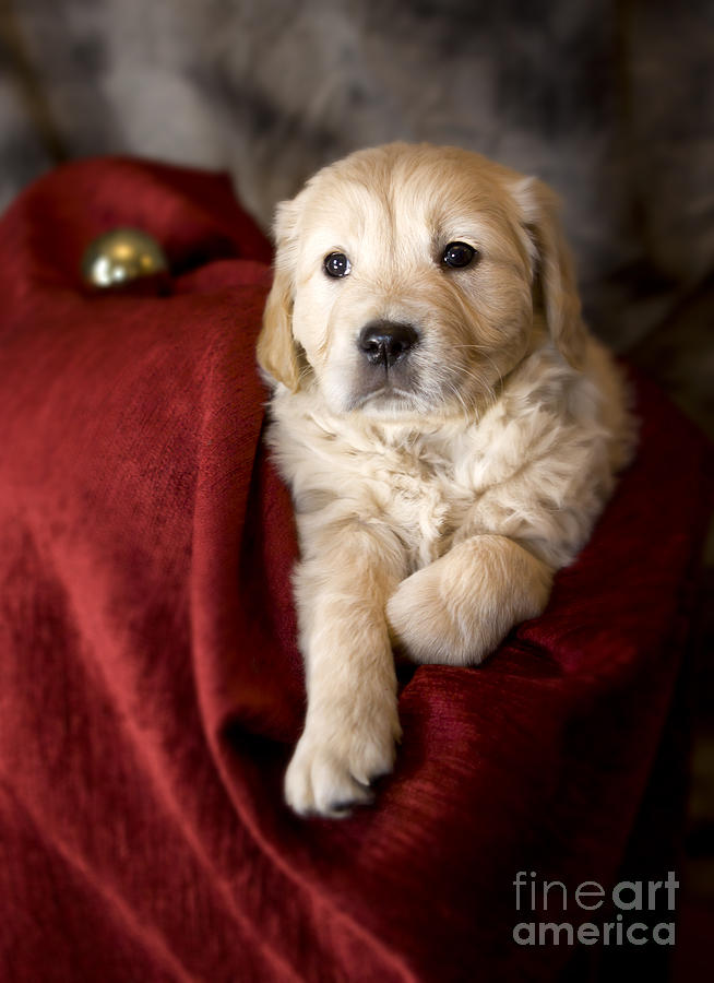 Dog Photograph - Golden Retriever Puppy by Angel  Tarantella