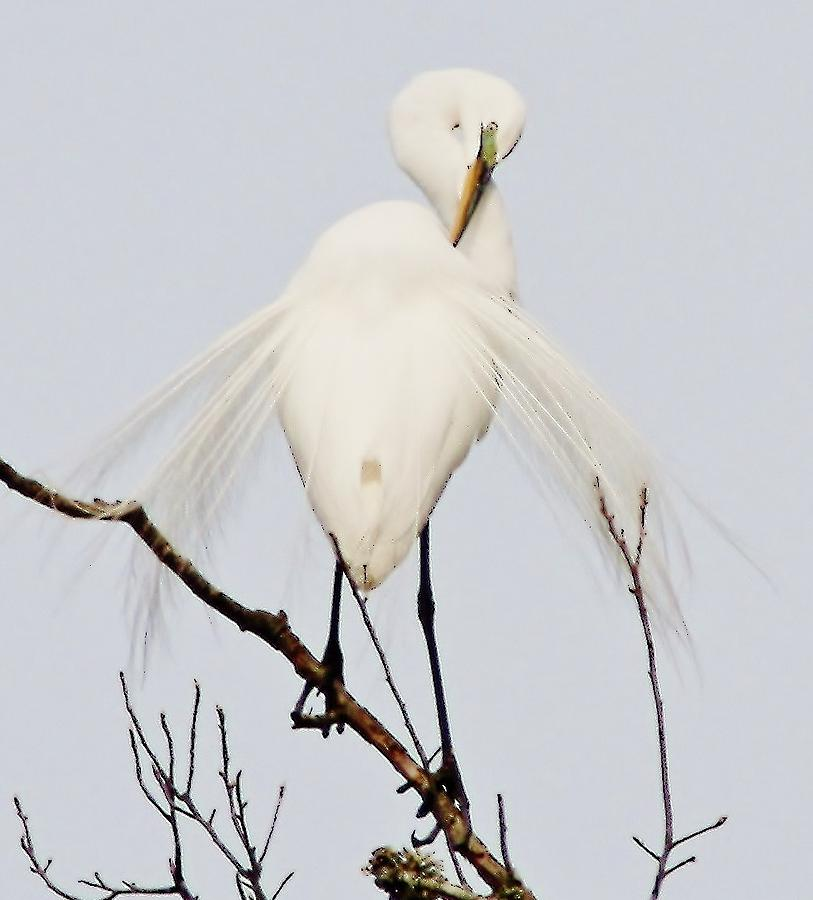 Great White Egret  - Great White Egret by Paulette Thomas