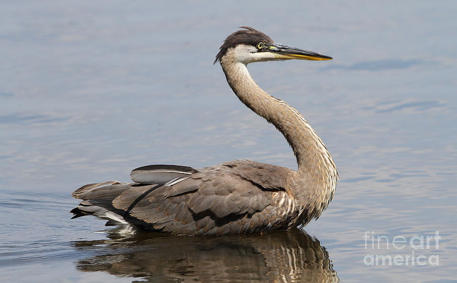 Great Blue Heron Photograph - Great Blue Heron by Ken Keener