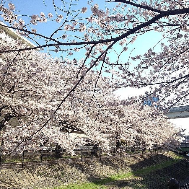 Landscape Photograph - #landscape  Cherryblossoms(^_^) by Tokyo Sanpopo