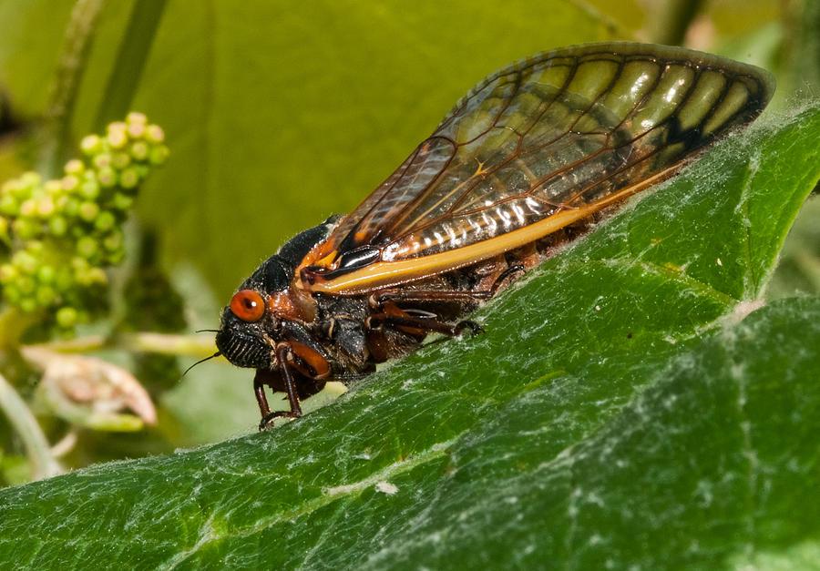 17 Year Cicada Photograph - 17 Year Cicada 3 by Lara Ellis