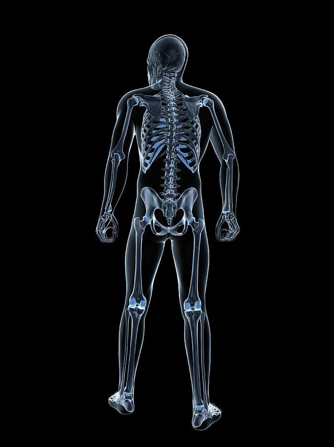 Healthy Photograph - Male Skeleton by Sciepro/science Photo Library