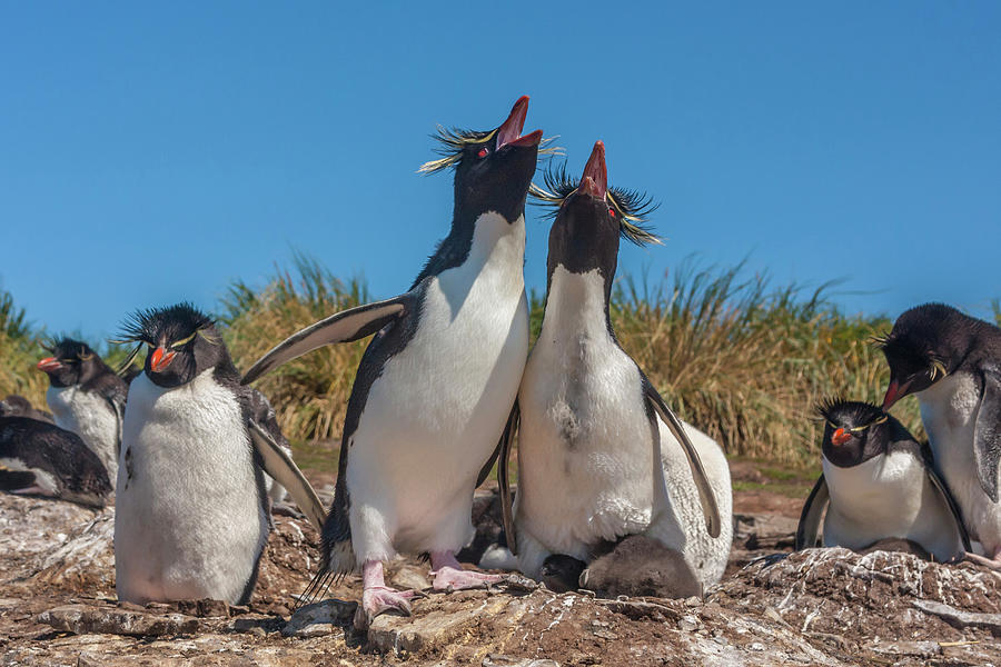 Behavior Photograph - Falkland Islands, Bleaker Island by Jaynes Gallery