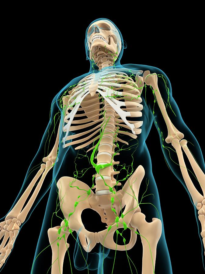 Artwork Photograph - Lymphatic System by Sciepro/science Photo Library