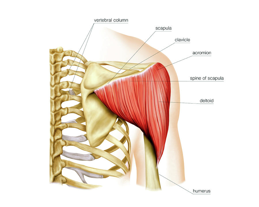 Shoulder Muscles Photograph By Asklepios Medical Atlas
