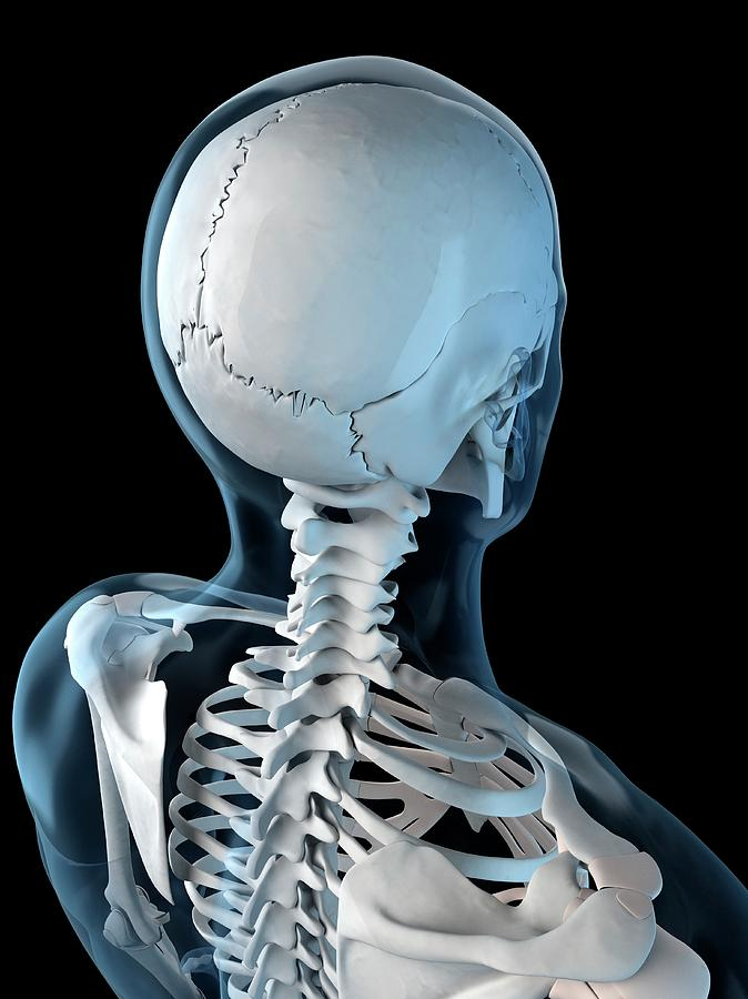 Upper Body Bones Photograph By Scieproscience Photo Library