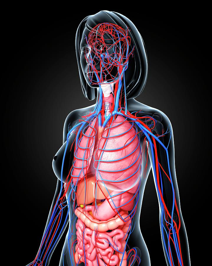 Artwork Photograph - Female Anatomy by Pixologicstudio/science Photo Library