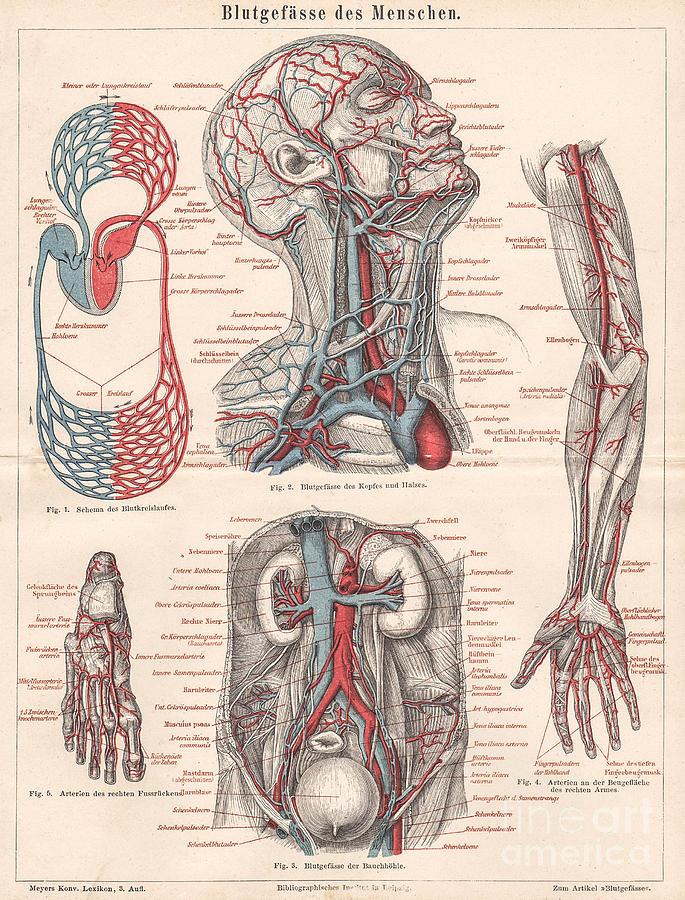 1879 Engraving Print Anatomy Human Body Blood Vessel System