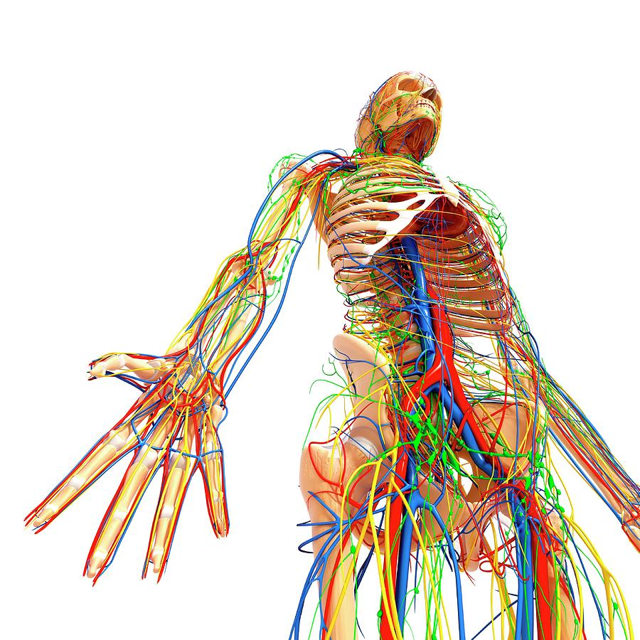 Artwork Photograph - Human Anatomy by Pixologicstudio/science Photo Library